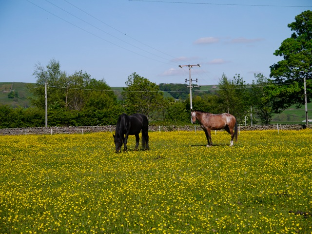 Lucy and Otto Funnell grazing amongst the buttercups
