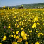 2013 - The Year of the Buttercup