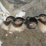 Swallow chicks in Butterfield House stable